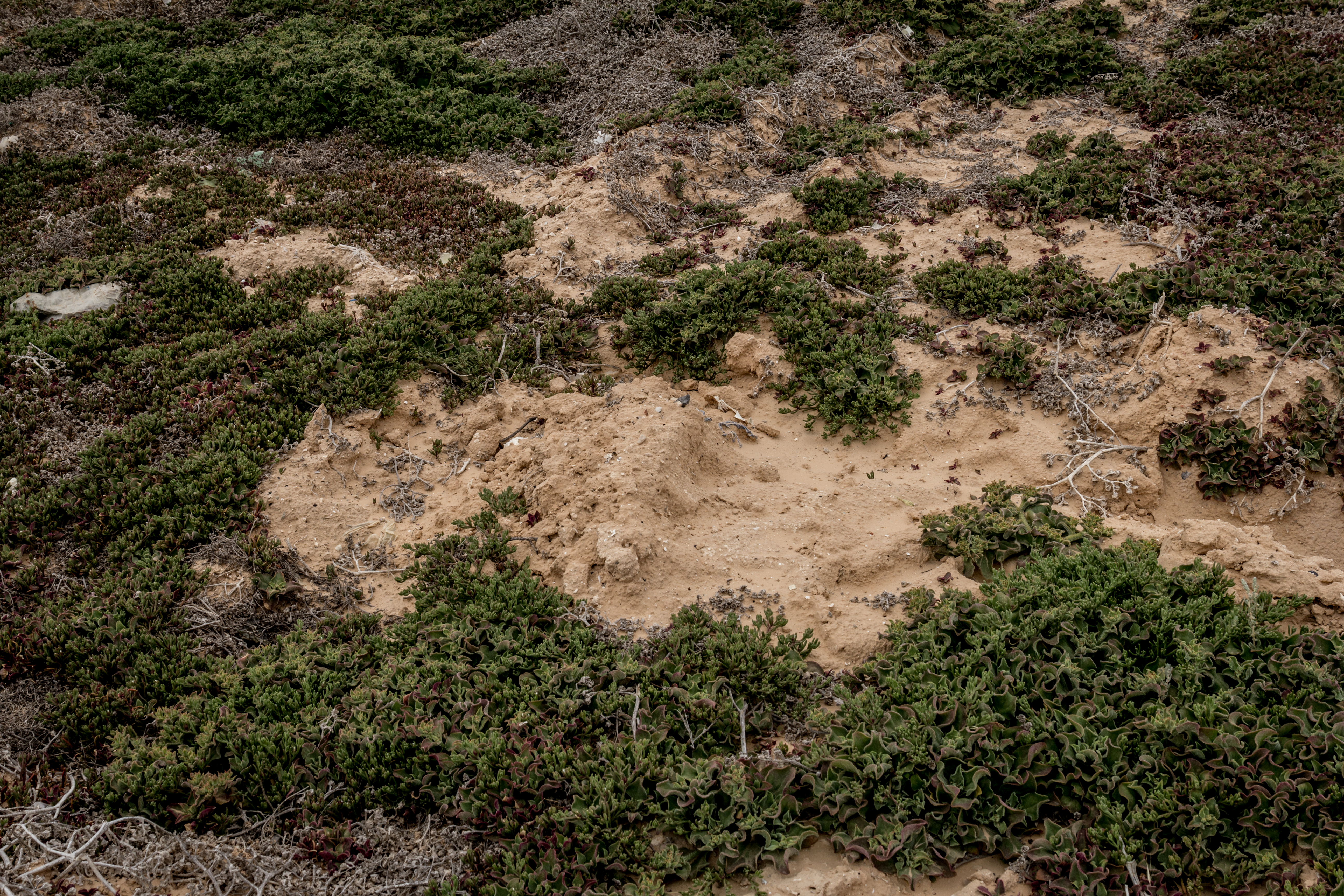Cimitero dei migranti anonimi di Zarzis, costruito sopra una vecchia discarica; i mucchietti smossi di fresco segnano il punto delle sepolture fra le piante grasse (foto: Giulia Bertoluzzi)