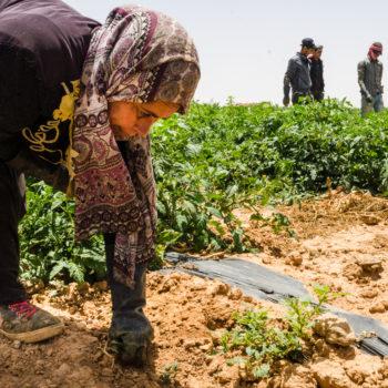 Al-Mafraq, Giordania - luglio 2018. Una donna siriana mentre ripulisce un campo di pomdori dalla erbacce nell'impresa agricola di Abu Hamza.