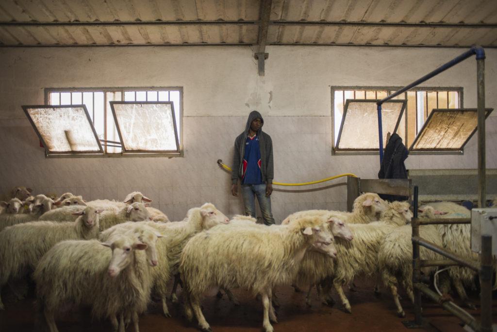 Lassi, un ragazzo di 20 anni, mentre prepara le pecore alla mungitura. Arrivato dal Mali, lavora da sei mesi presso un'azienda agricola di Siliqua, nel Sulcis Iglesiente (foto: Federica Mameli)